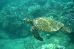 DSCF2429b-Carol-turtles-640