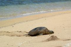 Turtle on Lanai ship wreck beach