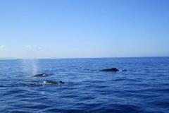 3 Humpback Whales in Kihei Maui